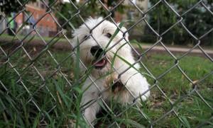 A Westie at Clarendon dog park (file photo)
