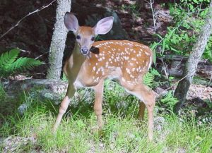 A young deer (photo via Wikimedia Commons)