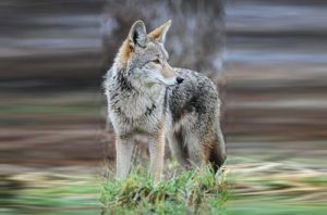 Coyote (file photo via Wikipedia)
