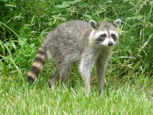 A raccoon in a backyard (file photo by Bastique via Wikipedia)