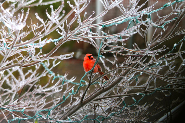 Cardinal in Alcova Heights (photo by Matt Henneman)