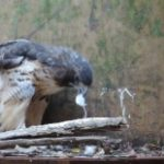 Red tail hawk eating