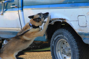 """ACPD K-9 """"Ozzie"""" searches a suspect vehicle for drugs"""
