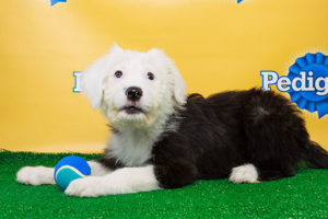 Arlington's Ginger, featured in Puppy Bowl X