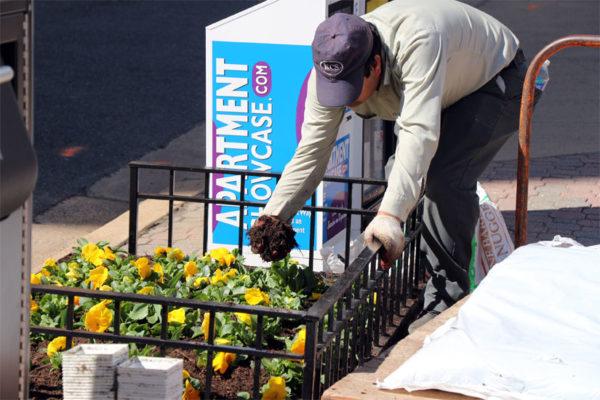 Man planting flowers on a sidewalk in Rosslyn