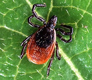 Deer tick (photo via USDA)