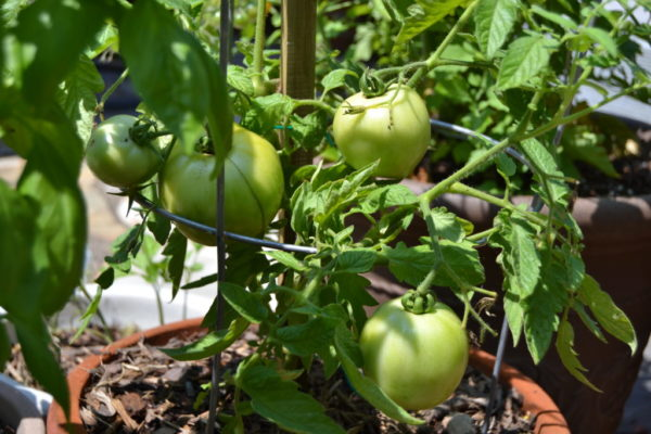 Tomatoes grow on Murnane's patio.