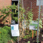 Plants at Arlington Central Library's volunteer garden