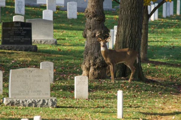 Stag at Arlington National Cemetery (Flickr pool photo by Kevin Wolf)