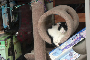 A cat rests in a display at PetMac in Virginia Square, which is closing this year
