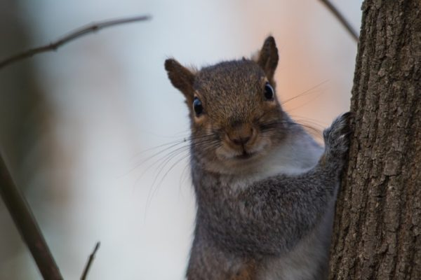 Gray squirrel (Flickr pool photo by Erinn Shirley)