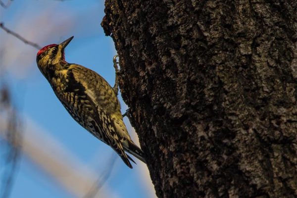 Yellow-bellied sapsucker in Barcroft Park (Flickr pool photo by Erinn Shirley)