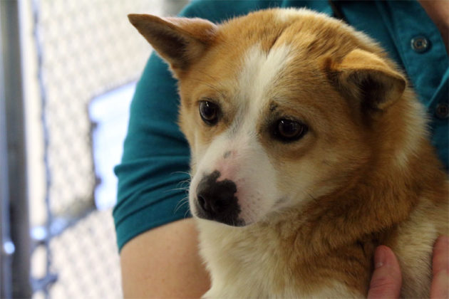 Corgi mix Abi, rescued from a Korean meat farm, and up for adoption in Arlington