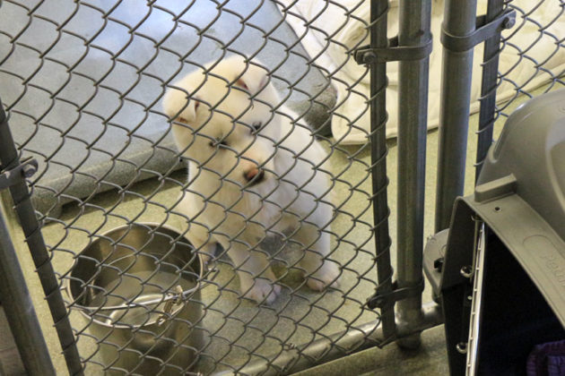 Snowball, another dog rescued from Korea, looks on as Abi is taken out of her cage