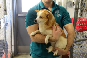 AWLA Director of Behavior and Adoptions Kevin Simpson holding Corgi mix Abi