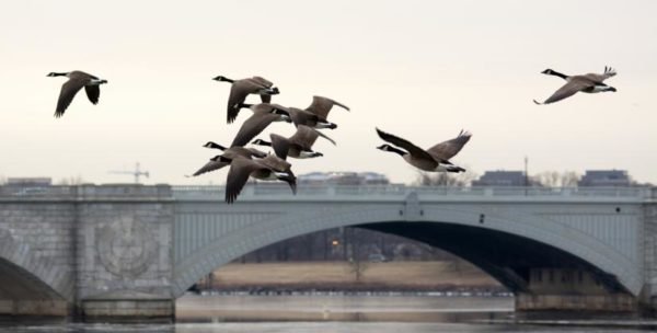 Memorial Bridge geese (Flickr pool photo by John Sonderman)