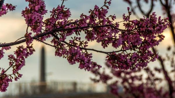 Cherry blossoms in Arlington 2015 (Flickr pool photo by Joseph Gruber)