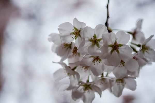 Spring blossoms (Flickr pool photo by Erinn Shirley)