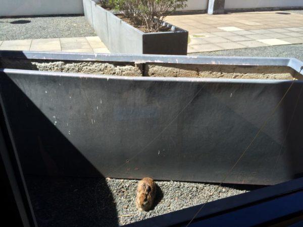 A rabbit enjoying the sunshine outside an office window in Rosslyn