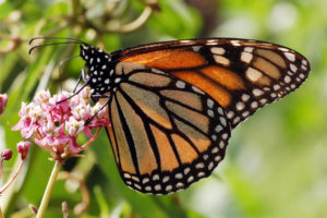 Monarch butterfly on swamp milkweed