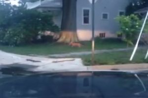 Screen capture of fox in Cherrydale caught on video