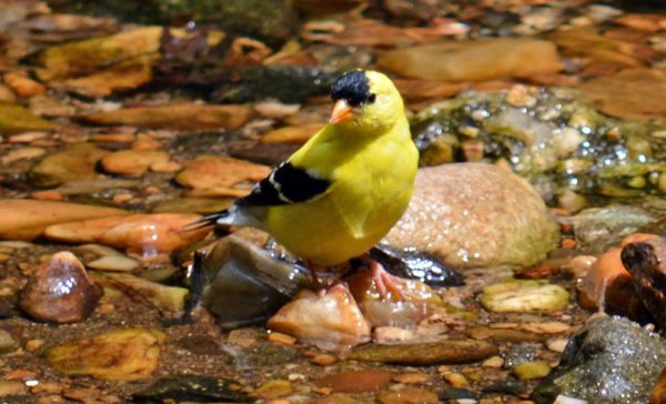 Goldfinch in stream near Long Branch Nature Center (Flickr pool photo by airamangel)