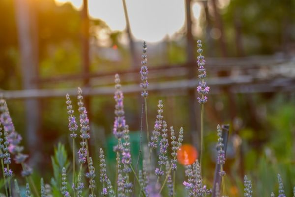 Lavender (Flickr pool photo by Erinn Shirley)