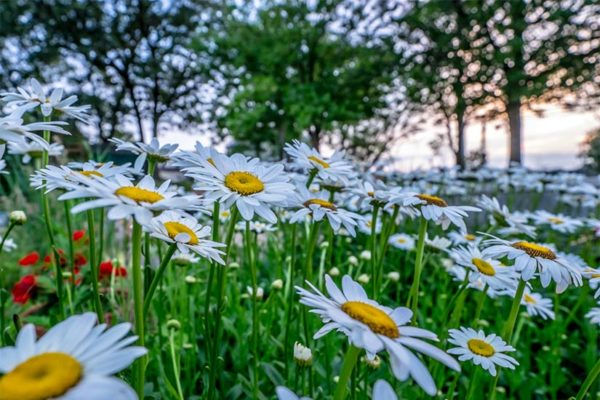 Daisies (Flickr pool photo by Erinn Shirley)