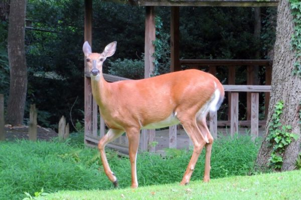 Backyard deer near Stroman's Branch (Flickr pool photo by Alan Kotok)