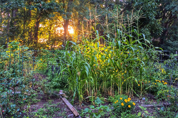 Urban corn along Four Mile Run (Flickr pool photo by Dennis Dimick)