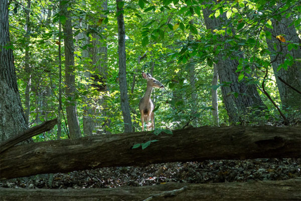 Deer near Donaldson Run (Flickr pool photo by Eric)