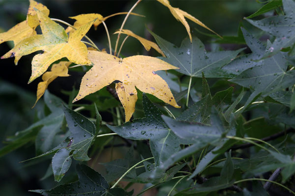 Wet leaves in early fall, in Fairlington