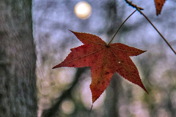 Moon leaf (Flickr pool photo by Erinn Shirley)