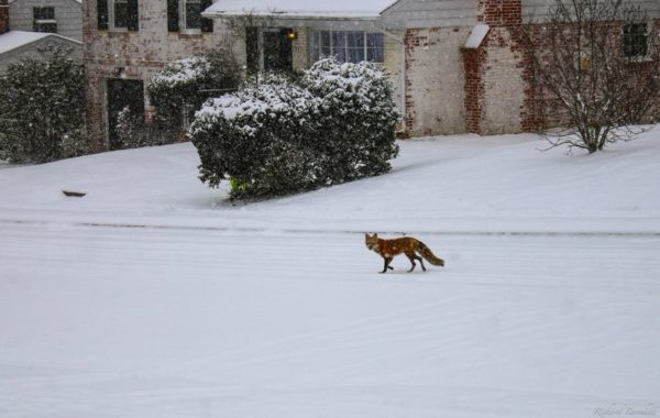 A fox in the snow in Arlington (Flickr pool photo by WolfpackWX)