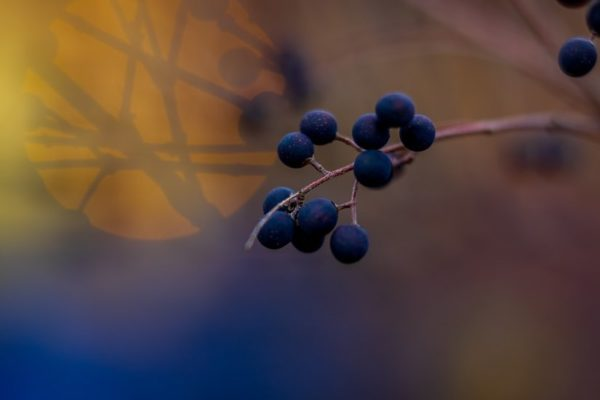 Winter berries (Flickr pool photo by Erinn Shirley)