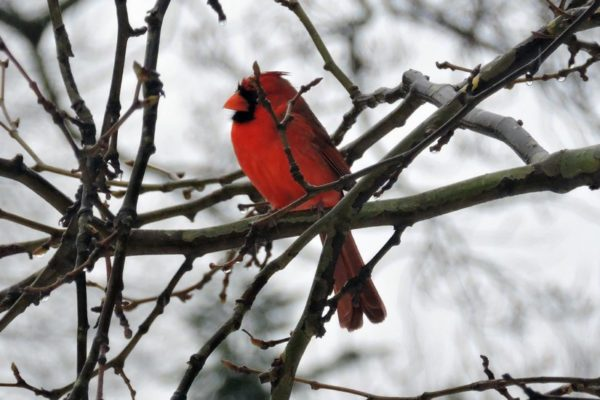 Cardinal in the winter (Flickr pool photo by Alan Kotok)