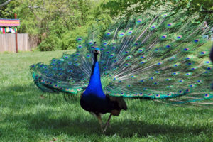 Peacock (Flickr photo by Sadie Hart)