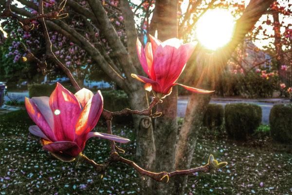 Tulip poplar in the Barcroft neighborhood (Flickr pool photo by Dennis Dimick)