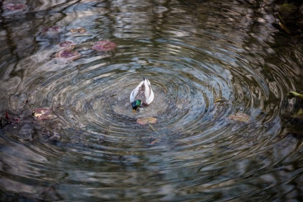Duck goes fishing in a pond (Flickr pool photo by Dennis Dimick)