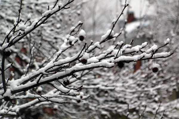 Snow-covered branches in Fairlington