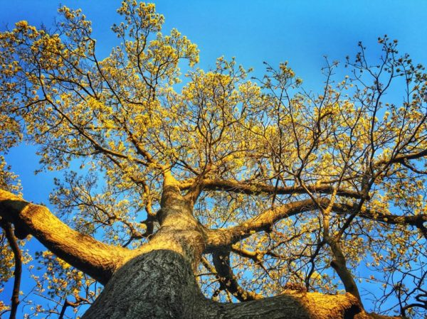Tree looking up at a beautiful day (Flickr pool photo by Dennis Dimick)