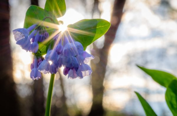 Bluebells (Flickr pool photo by Erinn Shirley)