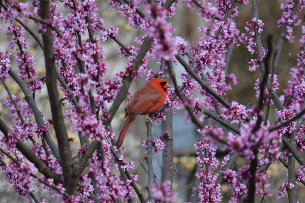 Cardinal in the spring in Bon Air Park (Flickr pool photo by Airamangel)