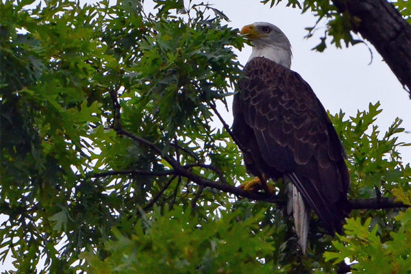 Bald eagle spotted on N. Park Drive on July 4, 2016 (photo courtesy Paul Fiorino)