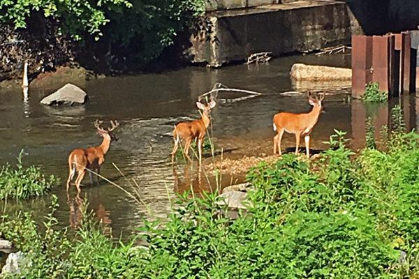 Deer in Four Mile Run (photo courtesy B. Heather)