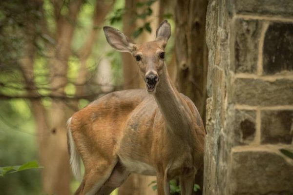 Smiling backyard deer (Flickr pool photo by Wolfkann)