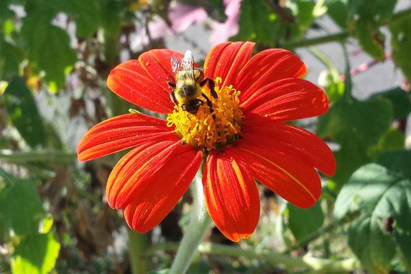 Bee and flower (Flickr pool photo by ksrjghkegkdhgkk)