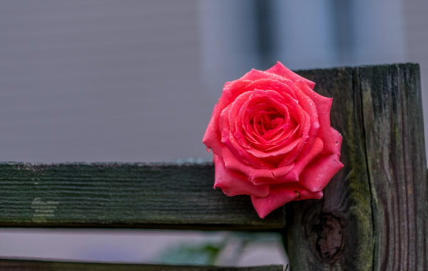 September rose (Flickr pool photo by Erinn Shirley)