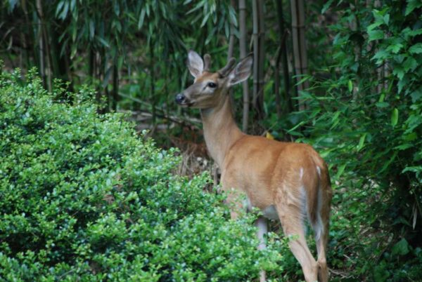 Young buck (deer) in backyard (Flickr pool photo by Lisa Novak)
