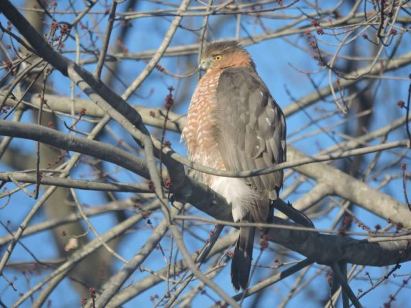 Hawk perched in tree (Flickr pool photo by Lisa Novak)